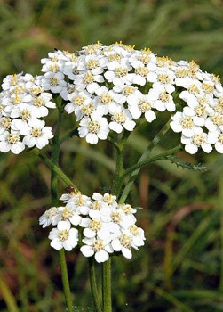 Decoction of Yarrow Collection